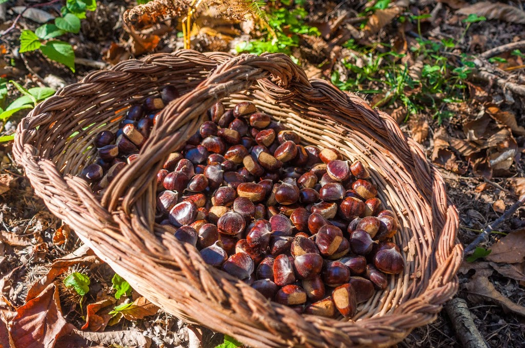 Gathering Chestnuts