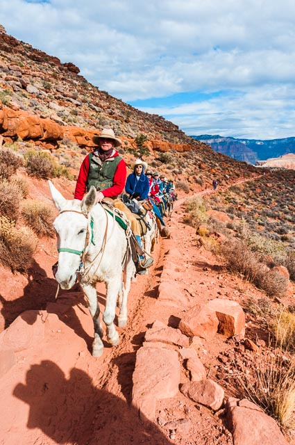 Mules taking the South Kaibab Trail down the South Rim of Grand Canyon National Park, Arizona, USA